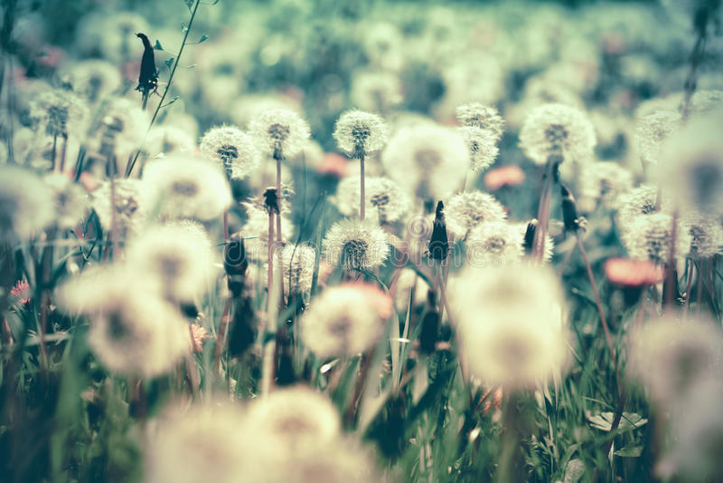 Εκλεκτική και μαλακή εστίαση στους σπόρους πικραλίδων στο λιβάδι στοκ φωτογραφία