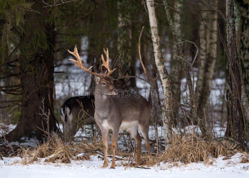Ελάφια αγραναπαύσεων buck Μεγαλοπρεπή ισχυρά ενήλικα ελάφια αγραναπαύσεων, dama Dama, στο χειμερινό δάσος, Λευκορωσία Σκηνή άγρια στοκ φωτογραφία