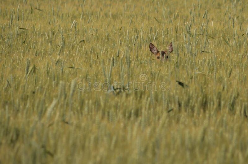 Ελάφια αυγοτάραχων που κρύβουν στον τομέα στοκ φωτογραφία