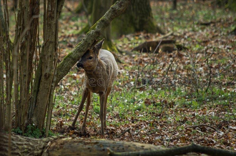 Ελάφια αυγοτάραχων στο δάσος στοκ εικόνες