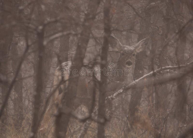 Ελάφια μουλαριών σε ένα χιονώδες δάσος που κρύβεται από τα χειμερινά γυμνά δέντρα στοκ εικόνες
