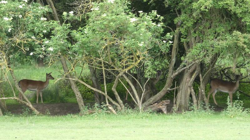 Ελάφια που κρύβουν στη σκιά 4 στοκ φωτογραφίες