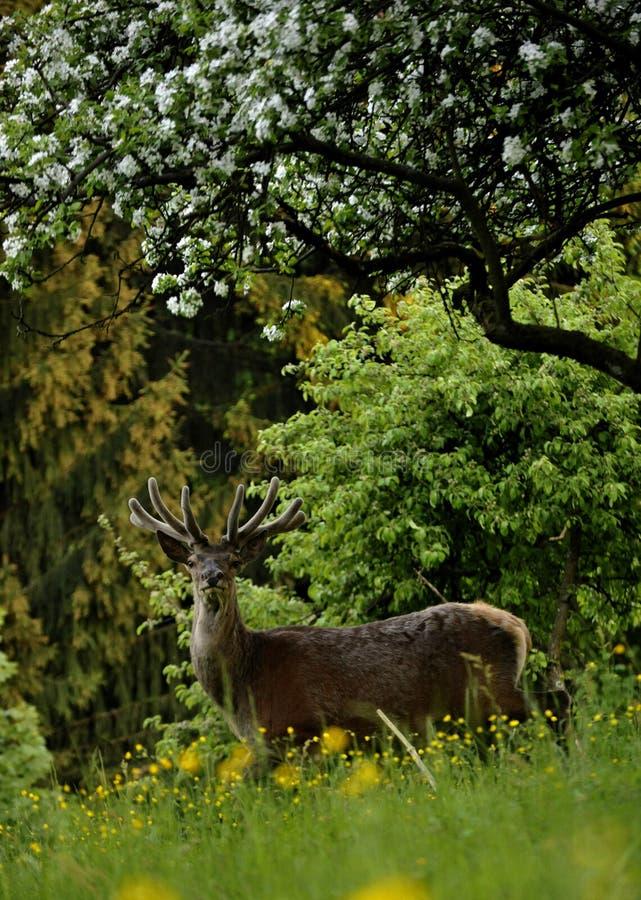 Ελάφια στο λιβάδι κάτω από ένα πολύβλαστο δέντρο μηλιάς στοκ φωτογραφία με δικαίωμα ελεύθερης χρήσης