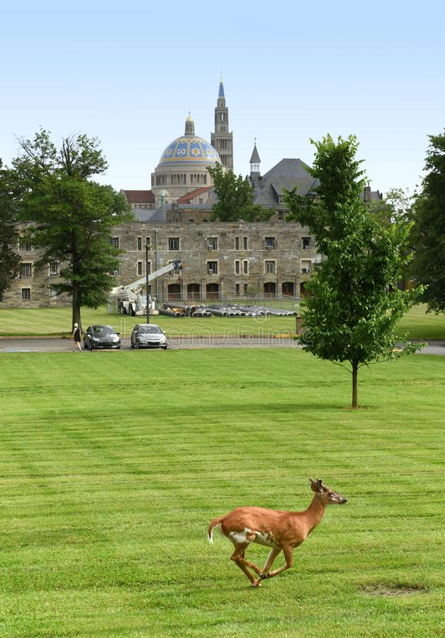 Ελάφια στο πάρκο το καθολικό πανεπιστήμιο της Αμερικής και της βασιλικής στοκ εικόνα