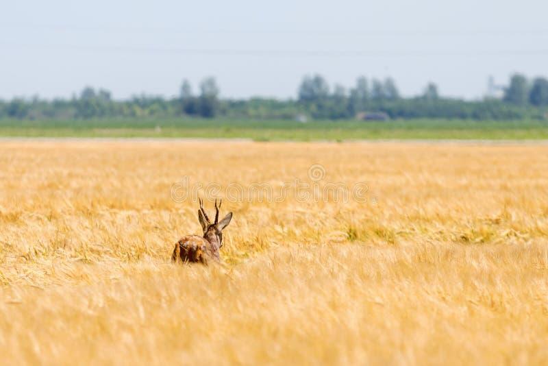 Ελάφια Buck αυγοτάραχων στον τομέα σίτου Άγρια φύση ελαφιών αυγοτάραχων στοκ εικόνες