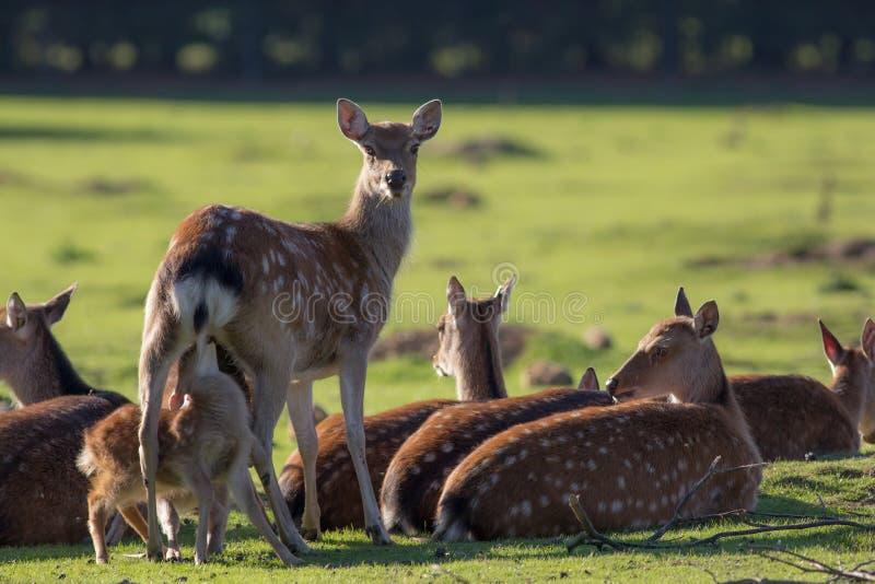 Ελάφια Sika Αγγλική εικόνα φύσης επαρχίας Έλαφος με το θηλάζον νεογνό φ στοκ φωτογραφία με δικαίωμα ελεύθερης χρήσης