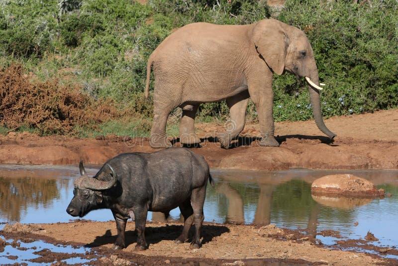 ελέφαντας βούβαλων στοκ φωτογραφίες