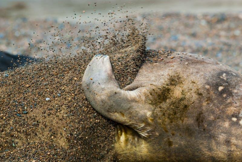 Ελέφαντας θάλασσας στοκ φωτογραφία με δικαίωμα ελεύθερης χρήσης