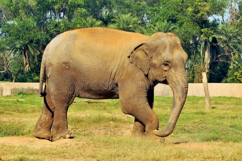 ελέφαντας Ινδός στοκ φωτογραφίες με δικαίωμα ελεύθερης χρήσης
