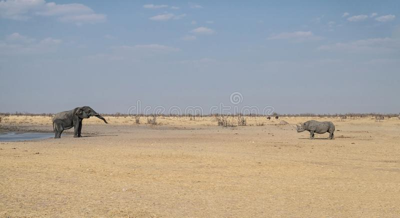 Ελέφαντας και μαύρος ρινόκερος στοκ φωτογραφία με δικαίωμα ελεύθερης χρήσης