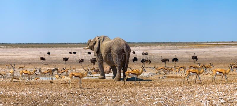 Ελέφαντας και πολλά ostrichs και gazelles σε ένα waterhole σε Etosha, Ναμίμπια στοκ φωτογραφία με δικαίωμα ελεύθερης χρήσης
