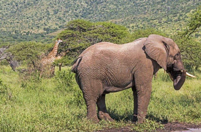 Ελέφαντας και Giraffe δύο στο φυσικό τοπίο αγριοτήτων στοκ φωτογραφίες
