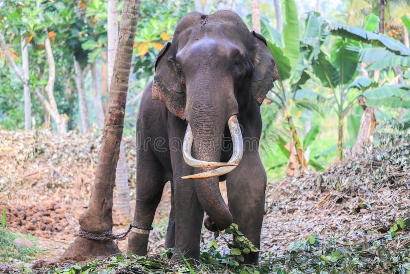 Ελέφαντας με τους χαυλιόδοντες στοκ φωτογραφία