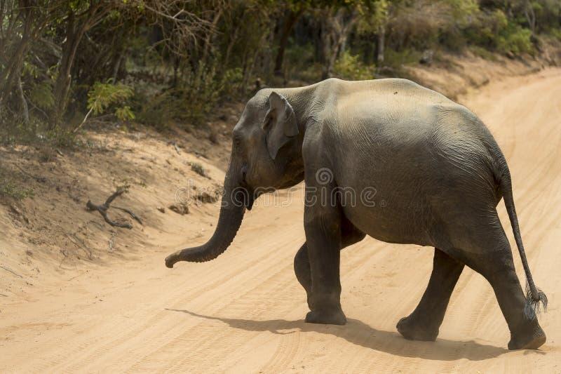 Ελέφαντας μωρών στο εθνικό πάρκο Yala, Σρι Λάνκα στοκ φωτογραφία με δικαίωμα ελεύθερης χρήσης
