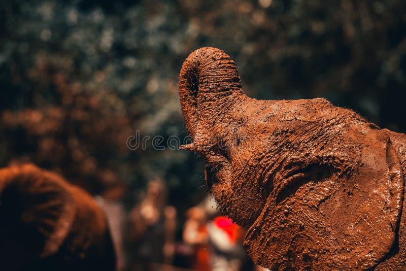 Ελέφαντας μωρών στο ορφανοτροφείο ελεφάντων του Δαβίδ sheldrick στο πόσιμο νερό της Κένυας στοκ εικόνες