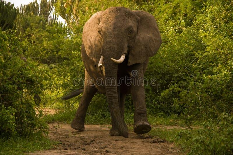 ελέφαντας Ουγκάντα χρέωσ στοκ φωτογραφίες