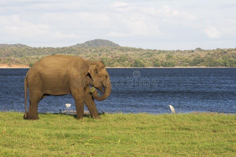 ελέφαντας πουλιών μικρός στοκ εικόνες