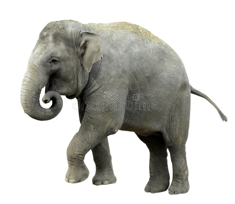 ελέφαντας που απομονώνεται ασιατικός στοκ φωτογραφία με δικαίωμα ελεύθερης χρήσης