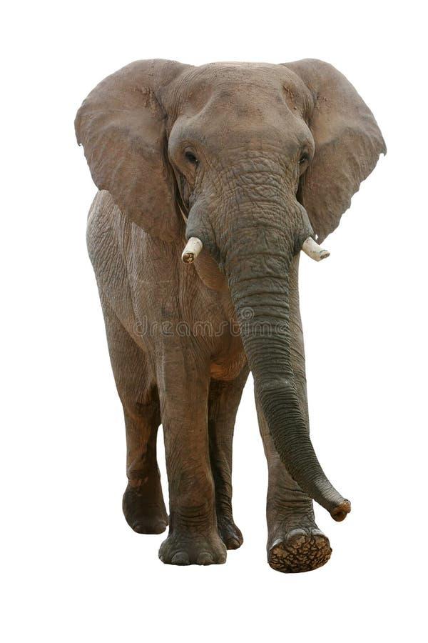 ελέφαντας που απομονώνεται αφρικανικός στοκ φωτογραφία