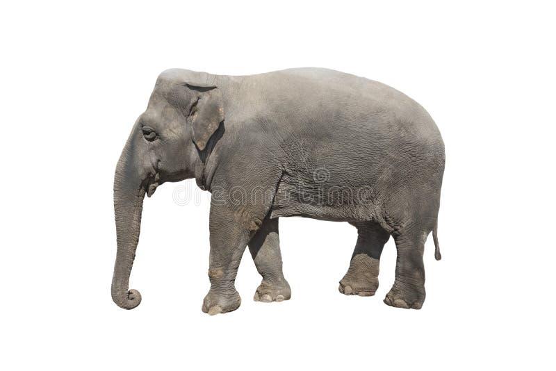 Ελέφαντας που απομονώνεται στο λευκό στοκ εικόνες