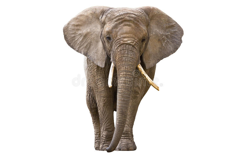 Ελέφαντας που απομονώνεται στο λευκό στοκ εικόνα με δικαίωμα ελεύθερης χρήσης