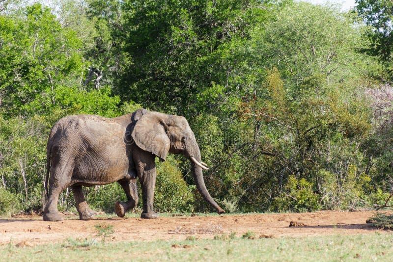 Ελέφαντας που περπατά κάτω από μια διάβαση που περιβάλλεται από τους πυκνούς πράσινους Μπους και τα δέντρα στοκ φωτογραφίες