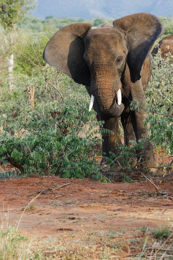 Ελέφαντας που χτυπά τα αυτιά του πλησιάζοντας στοκ εικόνες