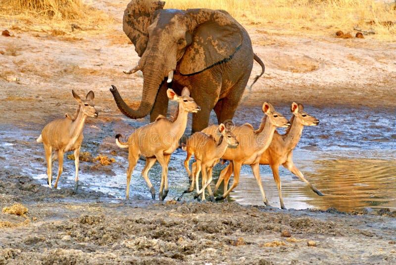 Ελέφαντας σε μια τρύπα ποτίσματος στο σούρουπο στοκ εικόνες