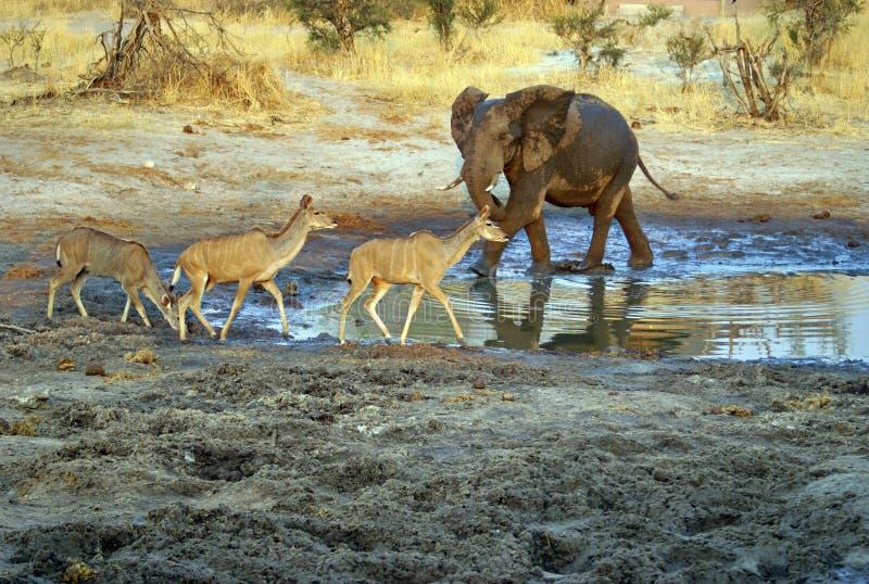 Ελέφαντας σε μια τρύπα ποτίσματος στο σούρουπο στοκ εικόνα
