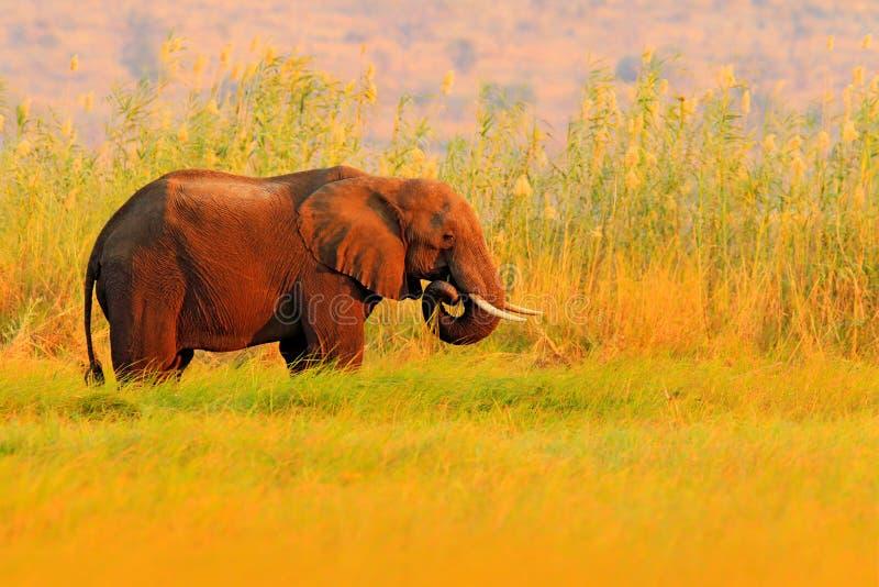Ελέφαντας στην κίτρινη και πράσινη σίτιση χλόης νερού, μεγάλο ζώο στο βιότοπο φύσης, Chobe, Μποτσουάνα, Αφρική Όμορφο βράδυ ελαφρ στοκ φωτογραφίες με δικαίωμα ελεύθερης χρήσης