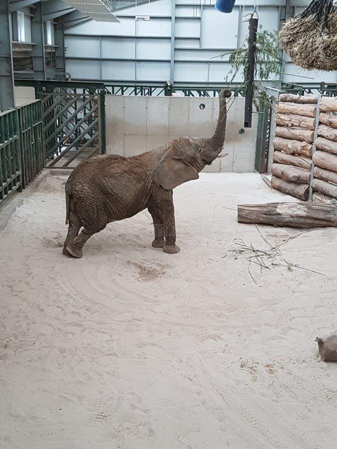 Ελέφαντας στο πάρκο σαφάρι Blair Drummond στοκ φωτογραφία με δικαίωμα ελεύθερης χρήσης