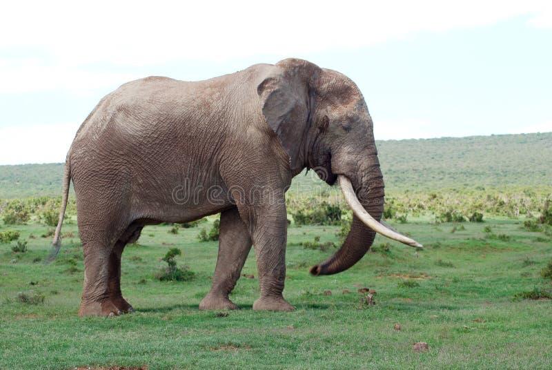ελέφαντας ταύρων στοκ φωτογραφία με δικαίωμα ελεύθερης χρήσης
