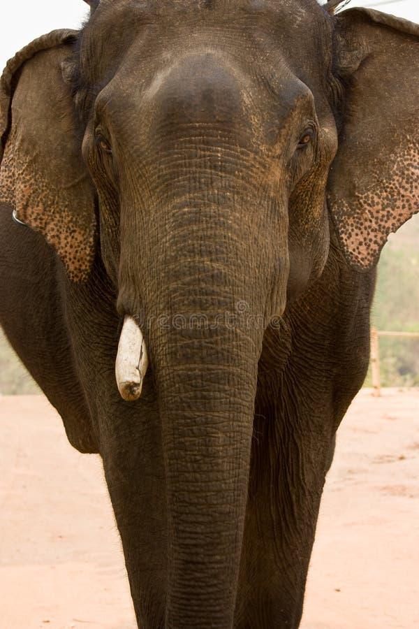 ελέφαντας της Ασίας στοκ εικόνα