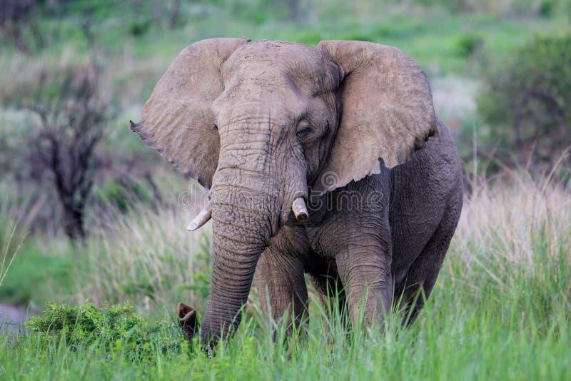 Ελέφαντας του Bull στη Νότια Αφρική στοκ φωτογραφία με δικαίωμα ελεύθερης χρήσης