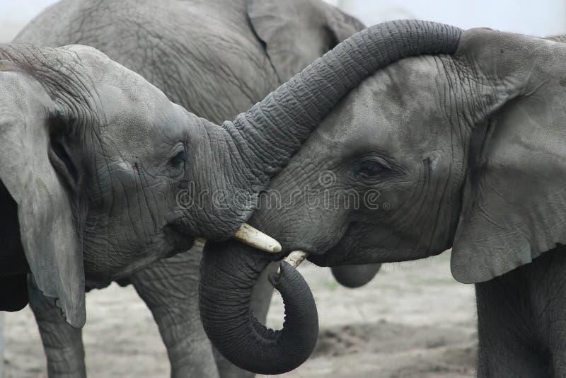 ελέφαντες δύο στοκ εικόνες με δικαίωμα ελεύθερης χρήσης