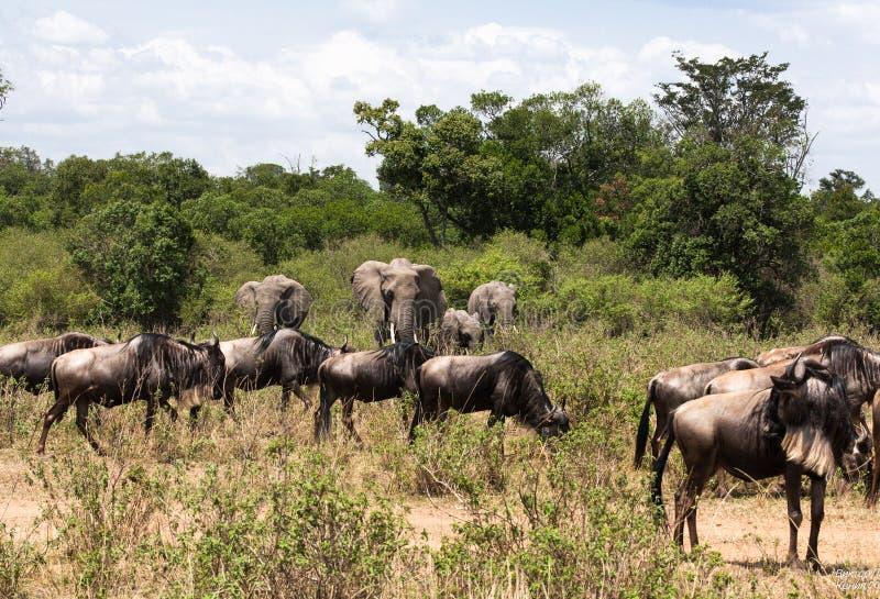 Ελέφαντες και wildebeests Ένα μικτό κοπάδι των herbivores στη σαβάνα της Αφρικής masai της Κένυας mara στοκ εικόνες