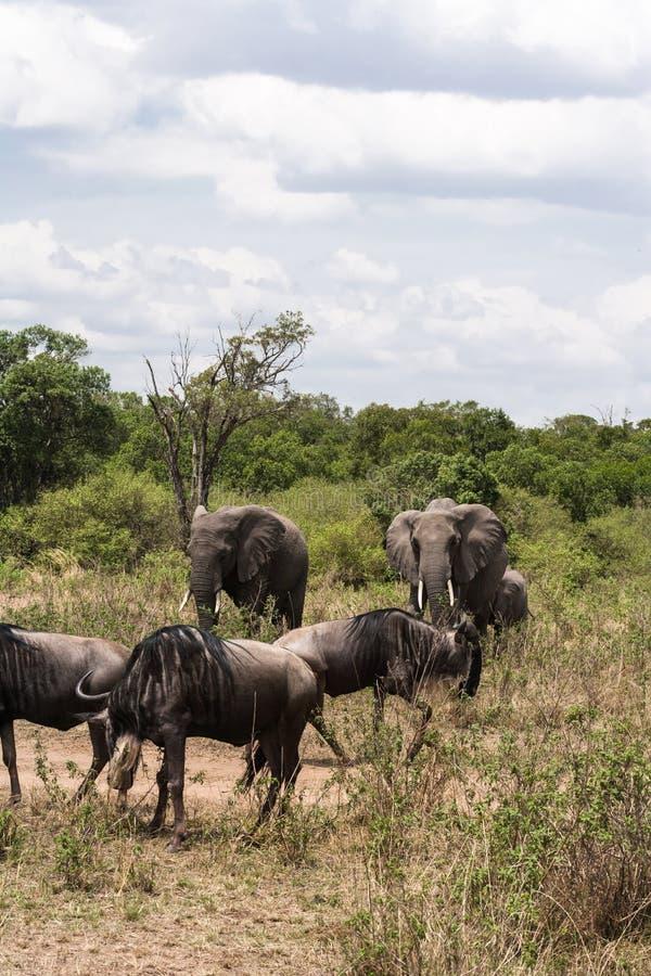 Ελέφαντες και wildebeests Μια μικρή ομάδα herbivores στη σαβάνα της Αφρικής masai της Κένυας mara στοκ εικόνες