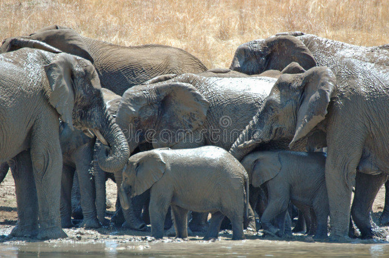 ελέφαντες λουσίματος στοκ εικόνα με δικαίωμα ελεύθερης χρήσης