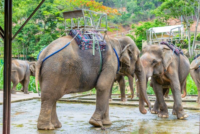Ελέφαντες με τη σέλα σε μια πλάτη στο triopical πάρκο στο Βιετνάμ στοκ εικόνες