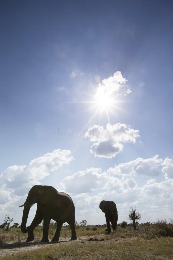 Ελέφαντες στη Μποτσουάνα στοκ φωτογραφία με δικαίωμα ελεύθερης χρήσης
