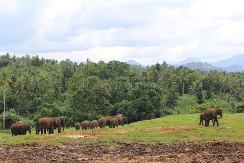 Ελέφαντες στη Σρι Λάνκα στοκ εικόνες