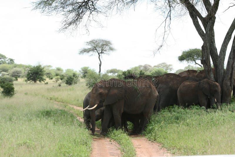 ελέφαντες Τανζανία της Αφ στοκ εικόνες
