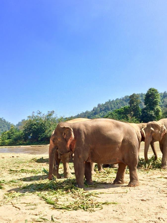 ελέφαντες Ταϊλάνδη στοκ φωτογραφίες με δικαίωμα ελεύθερης χρήσης