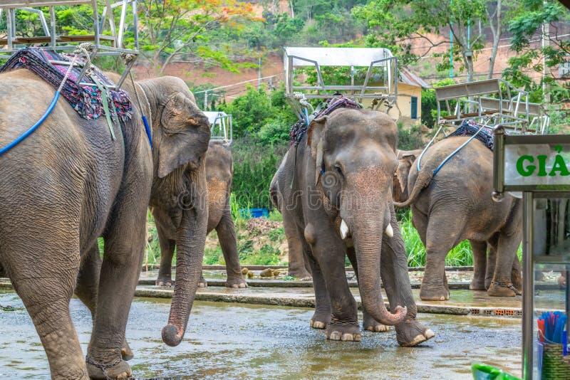 Ελέφαντες χορού με τις πίσω θέσεις με την πρόσκρουση στο πόδι στοκ εικόνες