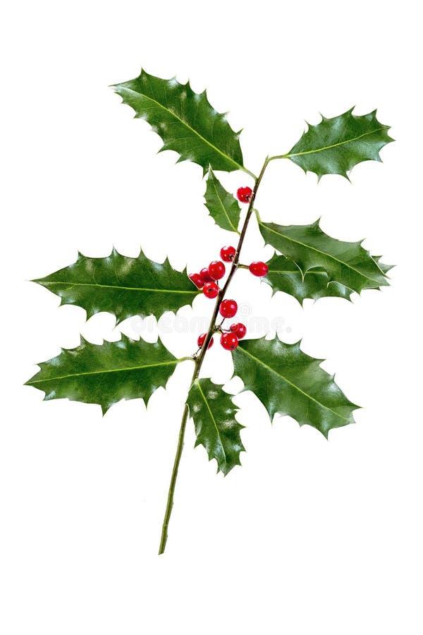 Ελαιόπρινος Χριστουγέννων με τα κόκκινα μούρα Παραδοσιακή εορταστική διακόσμηση Κλάδος της Holly με τα κόκκινα μούρα στο άσπρο υπ στοκ εικόνα με δικαίωμα ελεύθερης χρήσης
