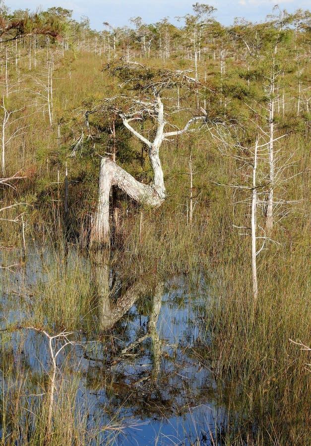 Ελαστικό δέντρο στο νάνο δάσος κυπαρισσιών Everglades στοκ εικόνα