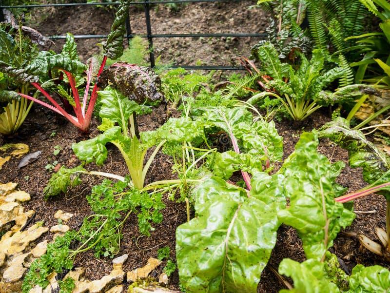 Ελβετικό chard στο φυτικό κήπο στοκ φωτογραφία με δικαίωμα ελεύθερης χρήσης