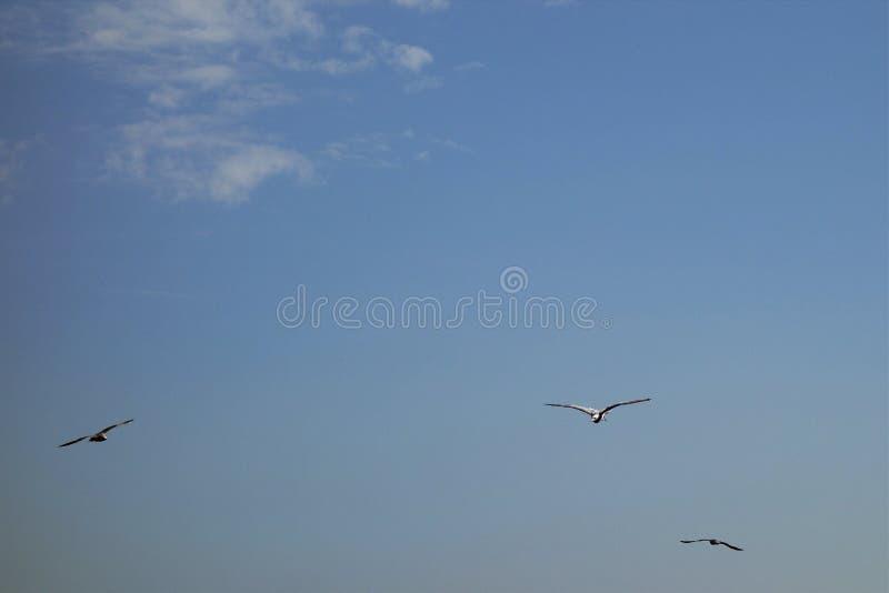 Ελεύθεροι γλάροι κατά την πτήση 1 στοκ φωτογραφία με δικαίωμα ελεύθερης χρήσης