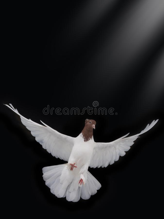 Ελεύθερο πετώντας άσπρο περιστέρι που απομονώνεται στοκ φωτογραφίες με δικαίωμα ελεύθερης χρήσης