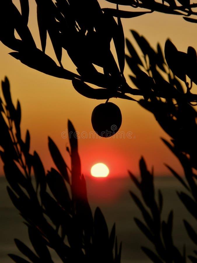 ελιά ένα καρπού δέντρα ηλιο στοκ εικόνα με δικαίωμα ελεύθερης χρήσης
